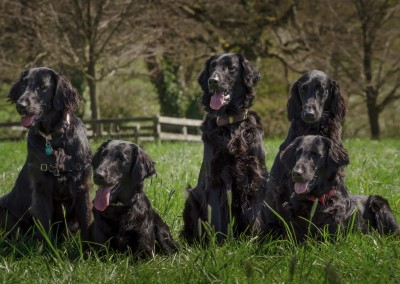 Flatcoat group