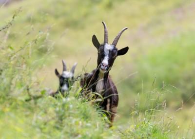 Gorge Goats