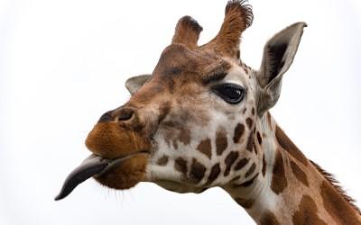 Marwell Giraffe Day