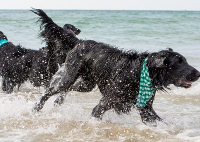 Flatcoat_Climping_011