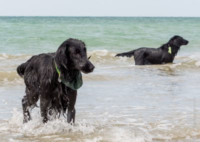 Flatcoat_Climping_018