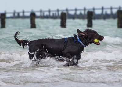 Flatcoat_Climping_031
