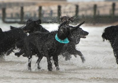 Flatcoat_Climping_032
