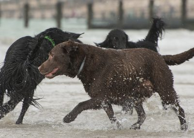Flatcoat_Climping_033