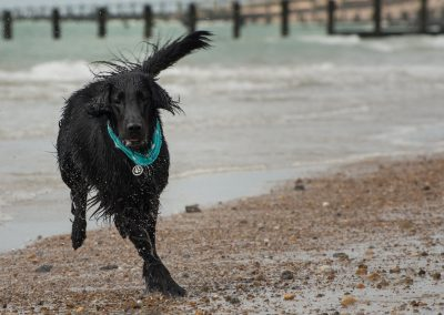 Flatcoat_Climping_036