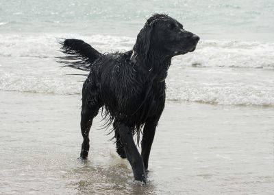Flatcoat_Climping_037