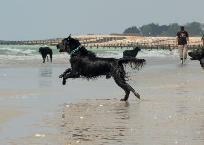 Flatcoat_Climping_049