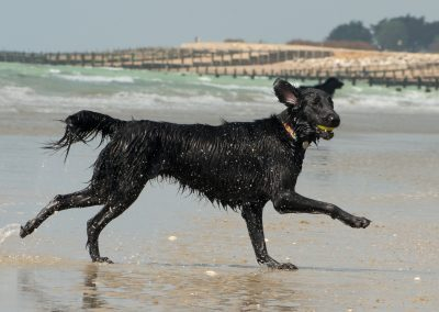 Flatcoat_Climping_050