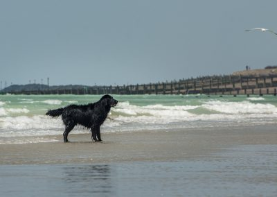 Flatcoat_Climping_053
