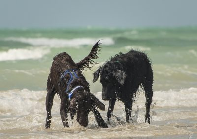 Flatcoat_Climping_054