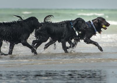 Flatcoat_Climping_056