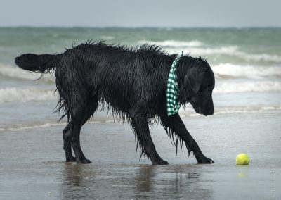 Flatcoat_Climping_058